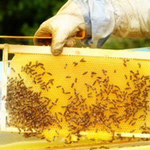 Важно за пчеларите! От днес ще се третират площи в землището на Плевен