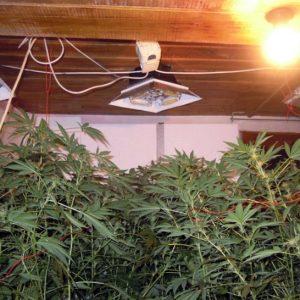 Домашна оранжерия за отглеждане на марихуана разкриха криминалистите от РУ – Левски