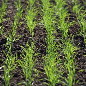 Ще се извърши наземно третиране на посеви вземлищата на Радишево, Гривица и Тученица